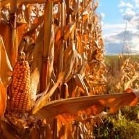 Украинские аграрии продолжают сбор урожая кукурузы
